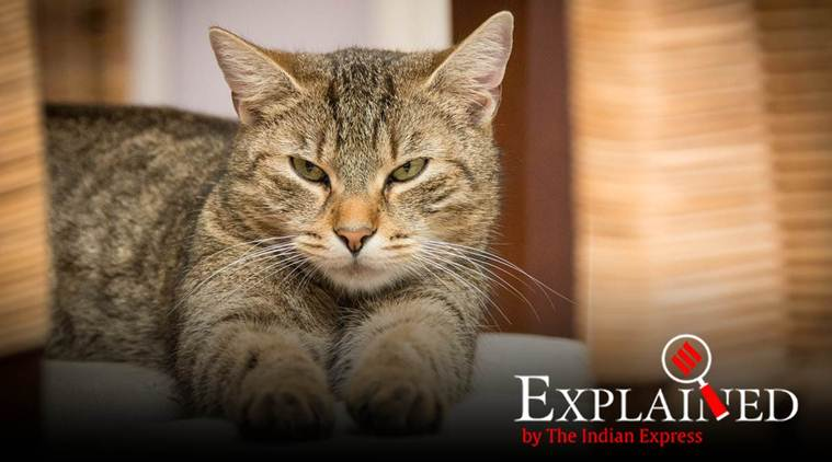 Explained: A cat has tested positive for coronavirus. Can your pet infect you? thumbnail