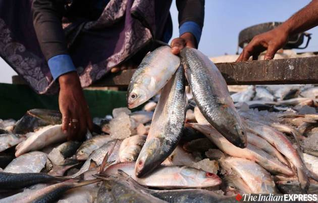 hilsa fish, kamphuli river, bangladesh hilsa, hilsa production, fishermen, bangaldesh fishermen, indian express