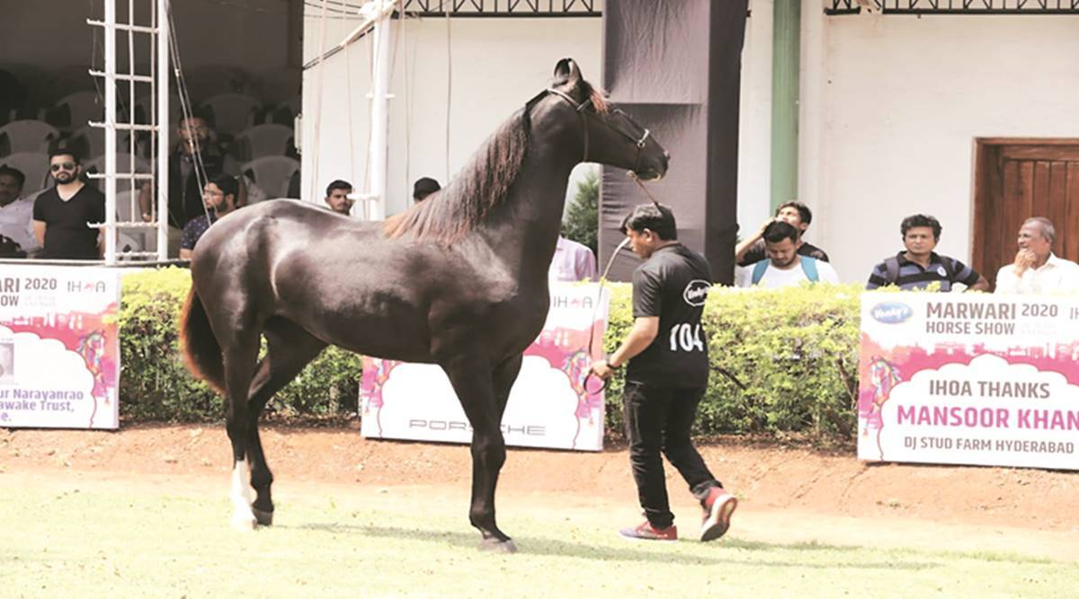 Efforts Underway To Revive Indigenous Bhimthadi Breed Of Horses Cities News The Indian Express