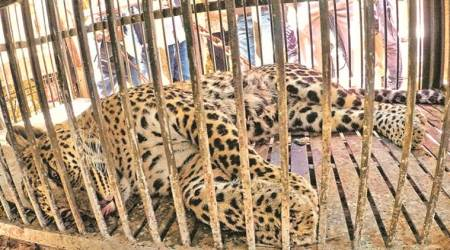 Leopard rescued from 45-foot-deep well