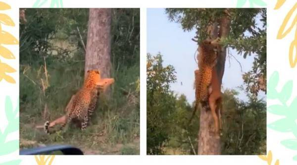 leopard climbing tree viral video, leopard in india, leopard facts, wild animals, twitter viral trends, trending. indian express, indian express news