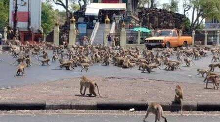 Brawling monkeys. Wandering deer. Blame coronavirus