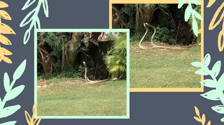 snake. snake dance, snake viral video, snake in golf course, snake dance