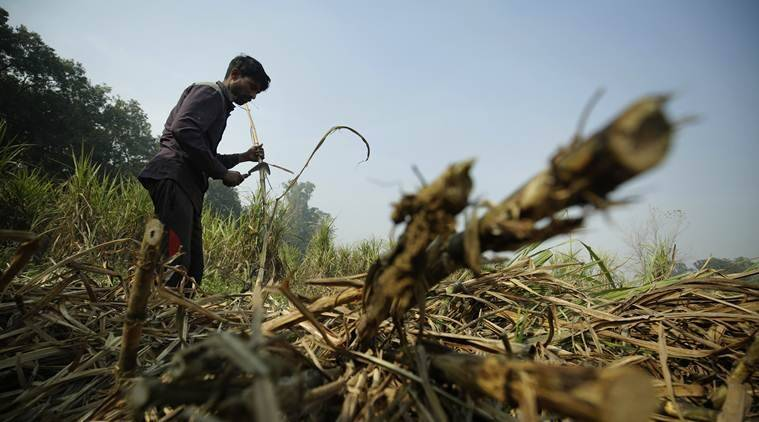 Maharashtra: No protective gear, workers continue cane harvest in groups