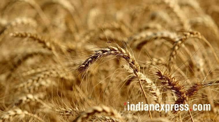 coronavirus, Coronavirus India Lockdown, wheat growers Madhya Pradesh, india lockdown effect on farmers, wheat Procurement farmers, wheat farmers, punjab wheat farmers, crop Procurement