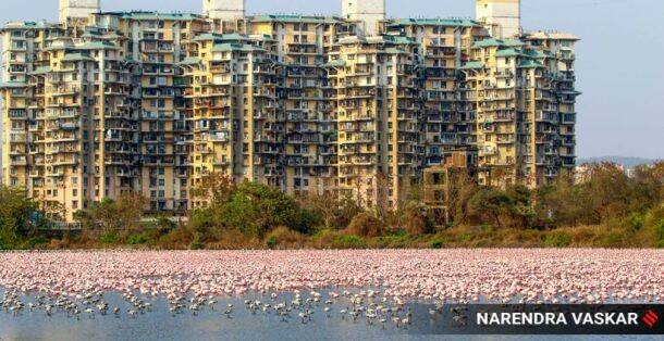 flamingos mumbai, flamingos navi mumbai, flamingos coronavirus lockdown mumbai, coronavirus lockdown mumbai, tending news, trending in pictures, flamingos twitter, mumbai news, Mumbai trending news, coronavirus latest news, coronavirus pictures, animals coronavirus, street dogs coronavirus, birds coronavirus, indian express enws