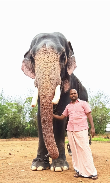 As Covid 19 Drowns Temple Festival Season Kerala S Elephant Owners Feel The Blues India News The Indian Express Here's what you need to know. as covid 19 drowns temple festival