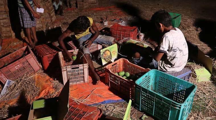 Alphonso mangos, Maharashtra mangoes, Mangoes, Ratnagiri, COVID-19, Maharashtra supply chain, supply chain, Indian Express