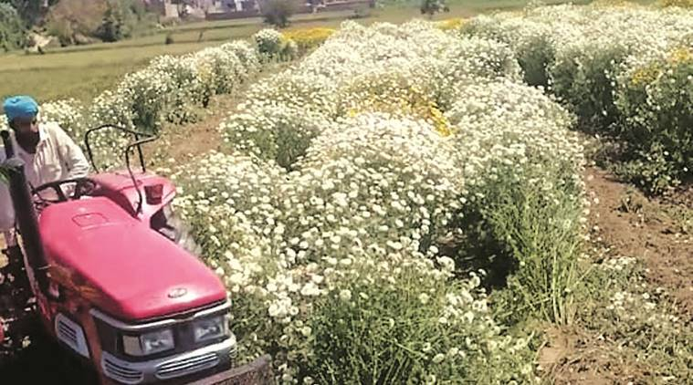 Punjab lockdown: No takers for flowers, farmers crush tonnes under wheels
