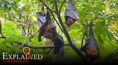 Explained: How bats carry viruses but don't fall ill themselves