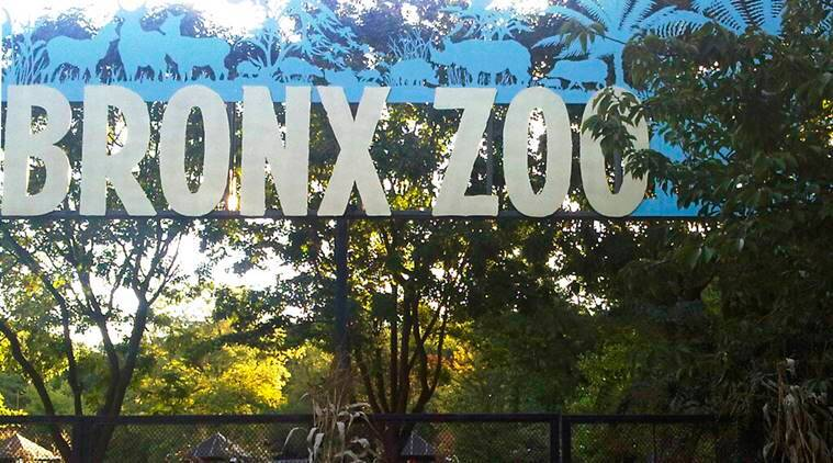 8 big cats have tested positive for coronavirus at the Bronx Zoo