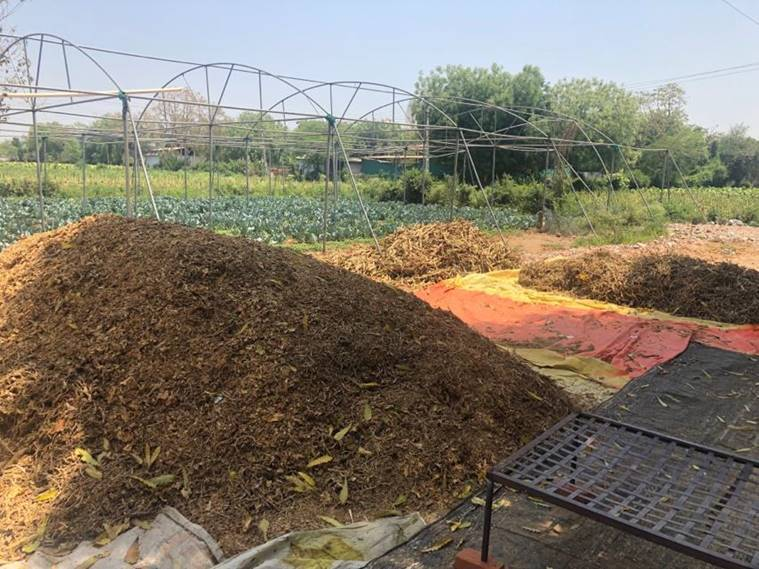Gujarat: Worried about harvesting tobacco with lockdown in place, say Dharmaj farmers