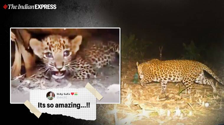 leopard cub reunited with mother, maharashtra cub reunion with leopard, nanded leopard cub mother reunion, maharashtra forest, leopard cub rescue, viral videos, indian express
