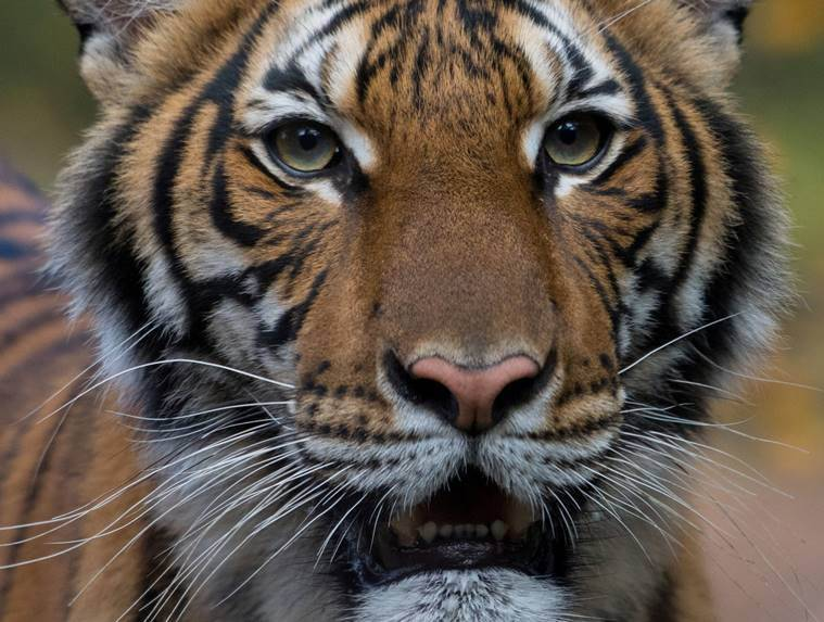 tiger coronavirus, coronavirus, covid 19, bronx zoo coronavirus, coronavirus in animals, coronavirus precautions in zoo, covid 19 threat in animals, new york coronavirus, us coronavirus, indian express news