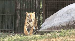 Amid lockdown, Ghazipur shut, Delhi zoo slaughters live feed for its big cats