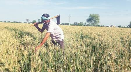 msp, wheat msp, farm bills, agriculture bills, wheat crop msp, parliament, Narendra Singh Tomar, Lok Sabha msp announcement, indian express