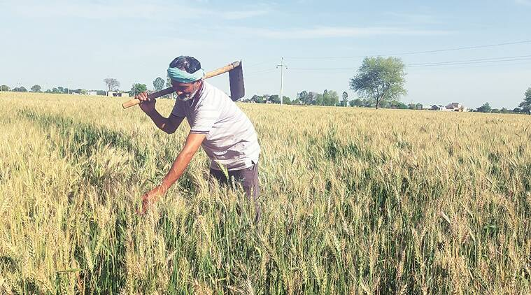 Haryana hopes for a good yield of wheat