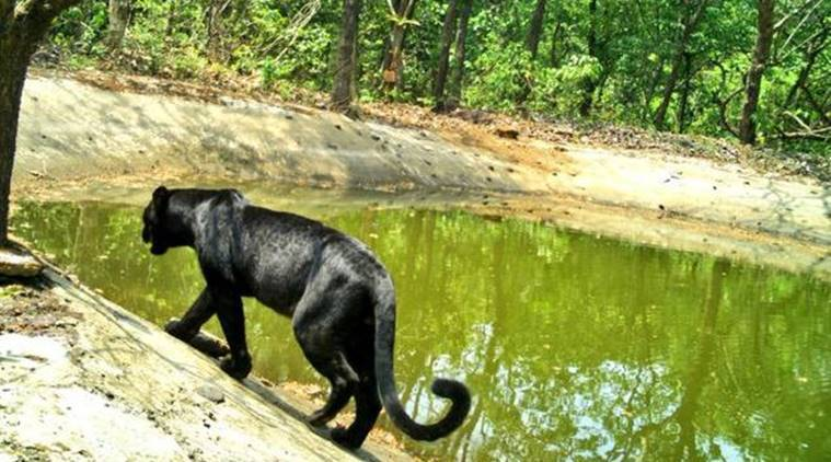 'Great glimpse of Goas rich wildlife': Panther spotted in Goa sanctuary