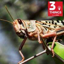What has caused the desert locusts attack in India?