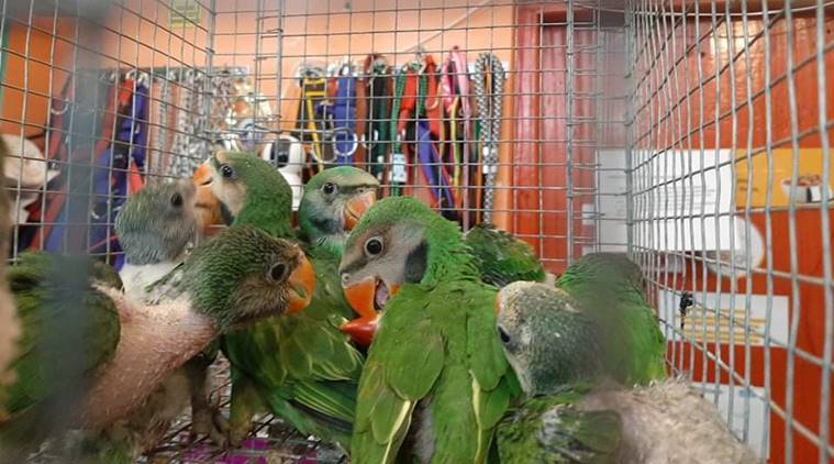 Baby parrots, Hill Myenahs recovered from smuggler in Tripura
