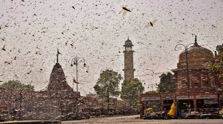 DGCA says locust swarms pose threat to aircraft during landing and takeoff phase, issues guidelines