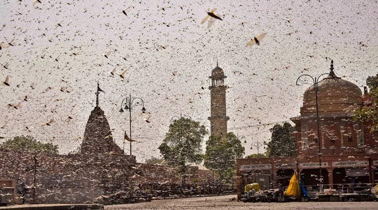 locust attack, locust in india, dgca, flights averted due to locust, indian express news
