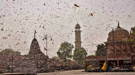 locust attack, Delhi locust attack, locust attack Delhi, locust attack India, India locust attack, Delhi news, city news, Indian Express