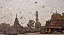 DGCA says locusts are a threat to aircraft, issues guidelines for safe flight