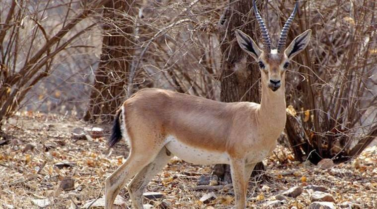 Gujarat: Two detained for hunting chinkara and 3 rabbits in Patan