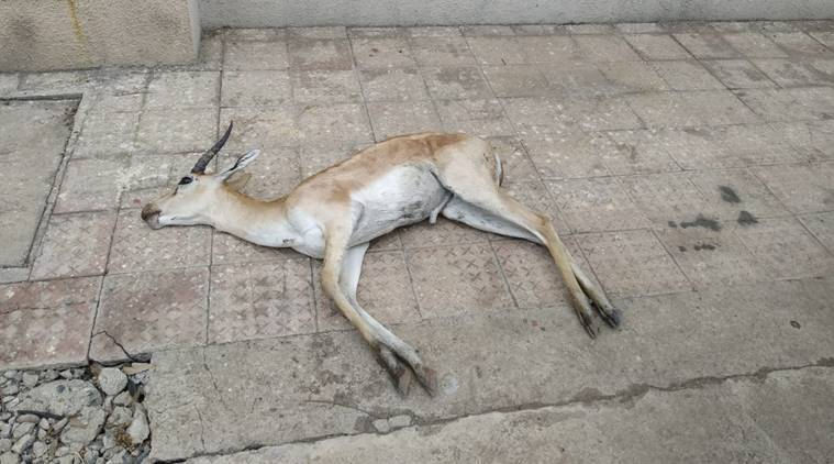 Lockdown, coronavirus lockdown, blackbuck killed Maharashtra, gondia blackbuck, indian express, maharashtra news