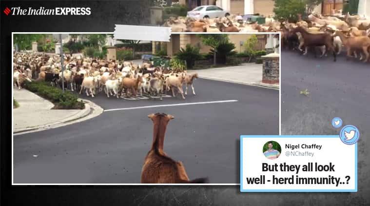 herd of goats, herd of goats viral video, goats, funny goats viral video, California