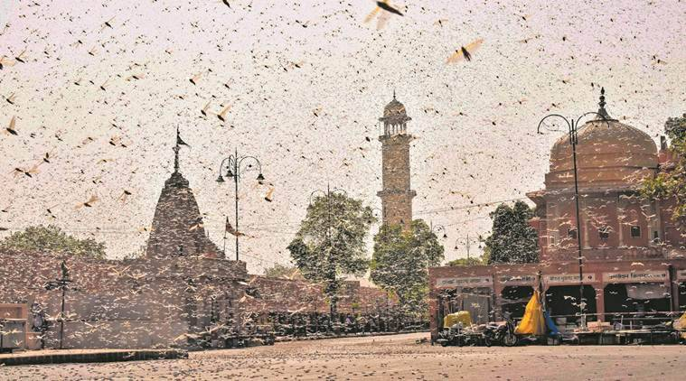 Locust cloud over 15 districts in Rajasthan, Madhya Pradesh