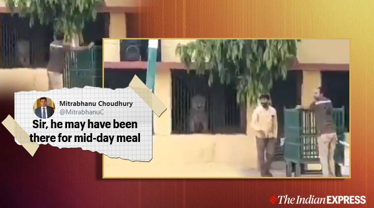 lockdown, covid-19, lion in school, Lion Searching For Food, Gujarat, Gujarat school, viral video