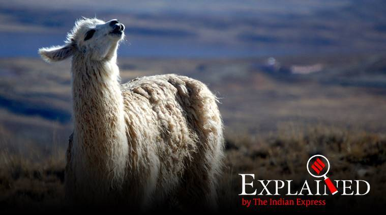 Explained: In antibodies from llamas, scientists see Covid-19 hope