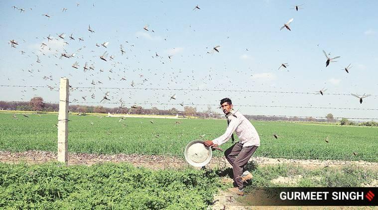 locust attack Delhi, Delhi locust attack, locusts attack, locust swarm Delhi, Delhi news, city news, Indian Express