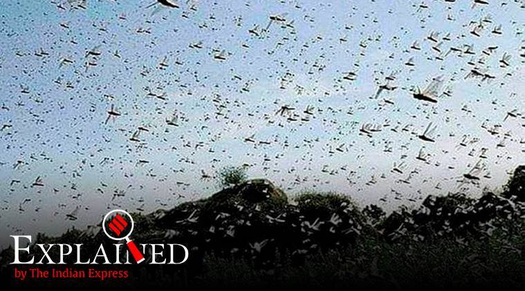 Locust attack, locusts in cities, express explained, why are locusts coming to cities