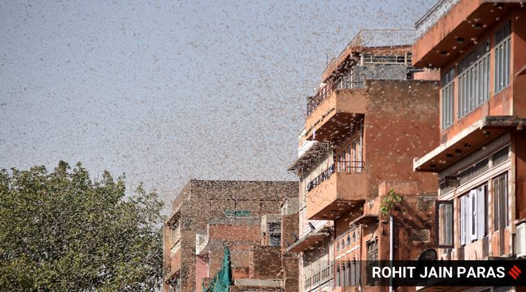 Locust attack: How they arrived, the seriousness of the problem, and ways to solve it