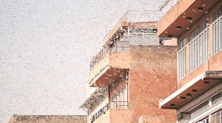 Locusts enter Jaipur localities, officials say more likely on way