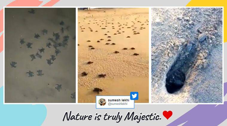 olive ridley turtles, odisha coast turtles hatchlings, baby olive turtles sea, baby turtles odisha beach hatch, turtle hatchlings odisha video, viral videos, indian express