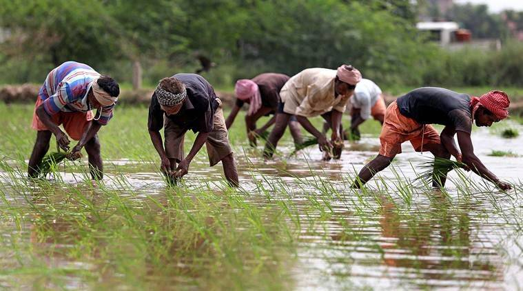punjab paddy farmers, migrant workers punjab, paddy high pay