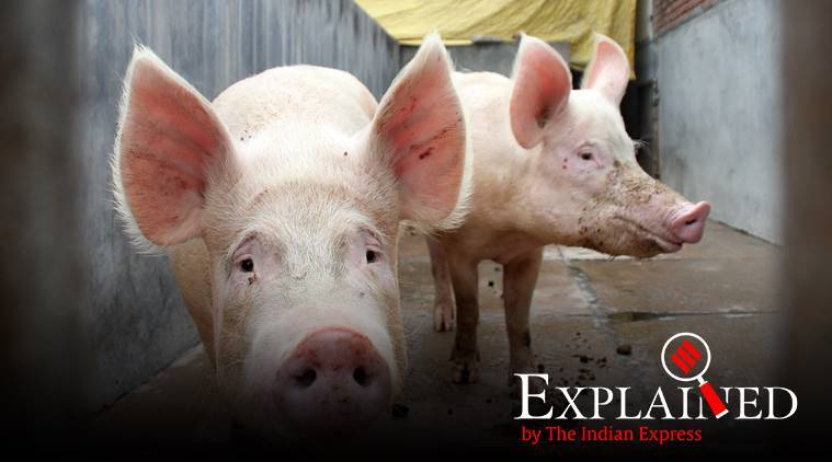 Explained: What is African Swine Fever reported in India for the first time?