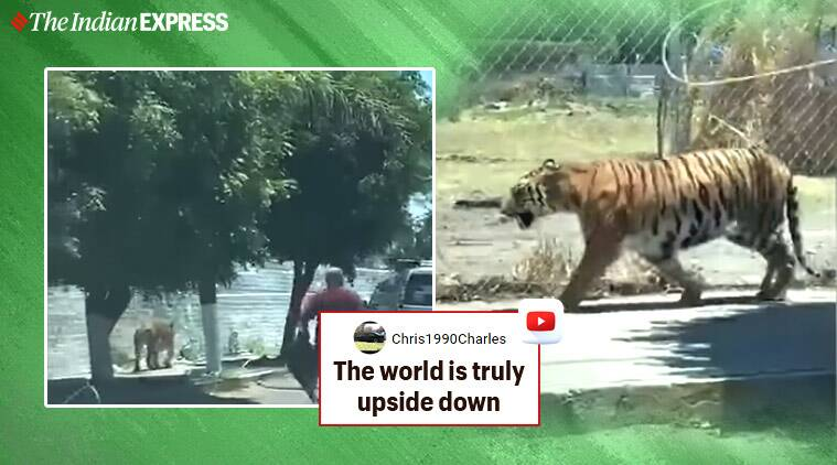 Tiger, Mexico, Tiger in Mexico, Cowboys, Cowboys with lasso, Tiger attack, Tiger king, Trending news, Indian Express news