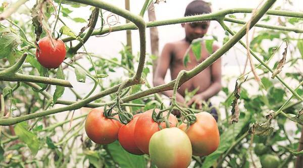 affected tomato crop, Pune zilla parishad, maharashtra agriculture department, iisc bangalore, indian express