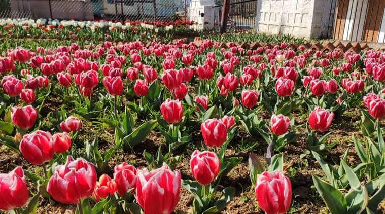 tulip garden of Pithoragarh, uttarakhand tulip garden, lockdown uttarakhand tourist season, india lockdown, latest news, indian express
