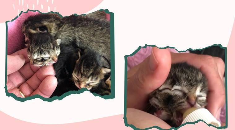 two faced kitten, Biscuits Gravy, Oregon family cat, cat story, cat with two faces, animals, twitter