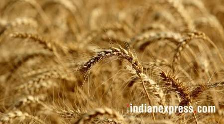 wheat productioncyclone nisarga, nisarga cyclone arabian sea, madhya pradesh farmers cyclone, cyclone nisarga news, latest news, crop yield, Untimely rain, Punjab news, Indian express news