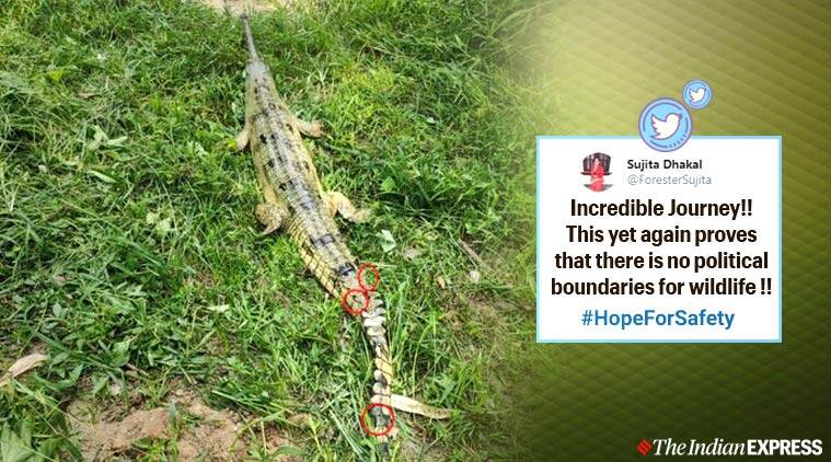 animals transboundary migrations, gharial travels from nepal to india, animals travel long distance, nepal india news, viral news, gharial conservation, indian express