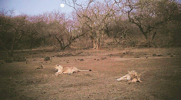 asiatic lions, asiatic lions population, asiatic lions in gujarat, gujarat gir forest, gujarat lions, lion census, lion in Gujarat, Indian express