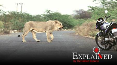 asiatic lions, asiatic lions in gujarat, gujarat gir forest,