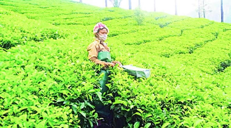 Kerala migrants, lockdown kerala migrants, Kerala hill station, Munnar, Kannan Devan Hill Plantations, indian express